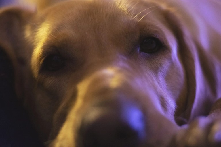 golden lab