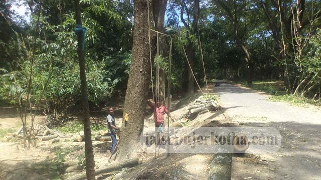 কেশবপুরে সরকারি সড়কের উপর থেকে শিশু গাছ কর্তন