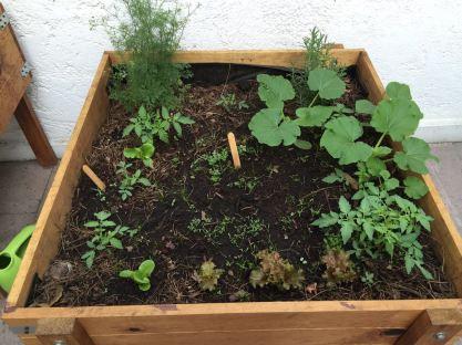 Después de un mes: tomates, cilantro, zanahorias, romero y lechugas