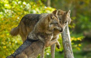 mograne-2-loups