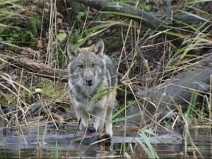 Lobo ruso (Canis lupus) de 6 meses de edad. Autor: Vladimir Bologov.
