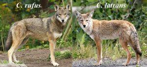 Lobo rojo y Coyote (Foto wikipedia)