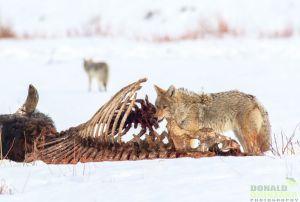 yellowstone-coyotes.jpg.990x0_q80_crop-smart