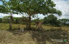 Vacas a la sombra