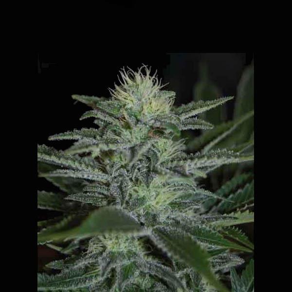 WHITE WIDOW-pyramid-seeds
