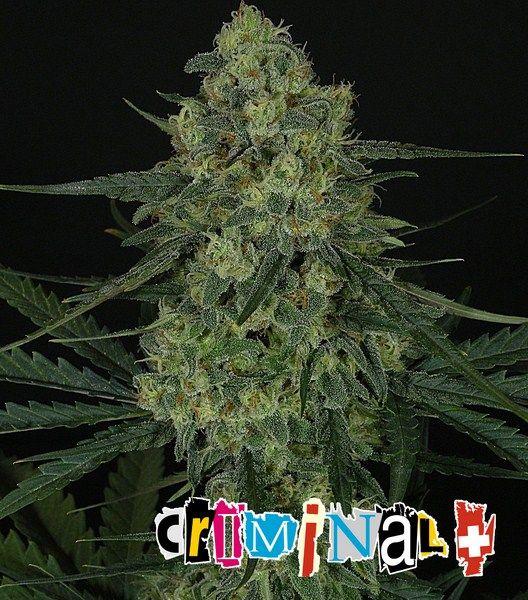 criminal-ripper seeds