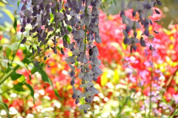 Jardin de Monet à Giverny - glycines en fleur
