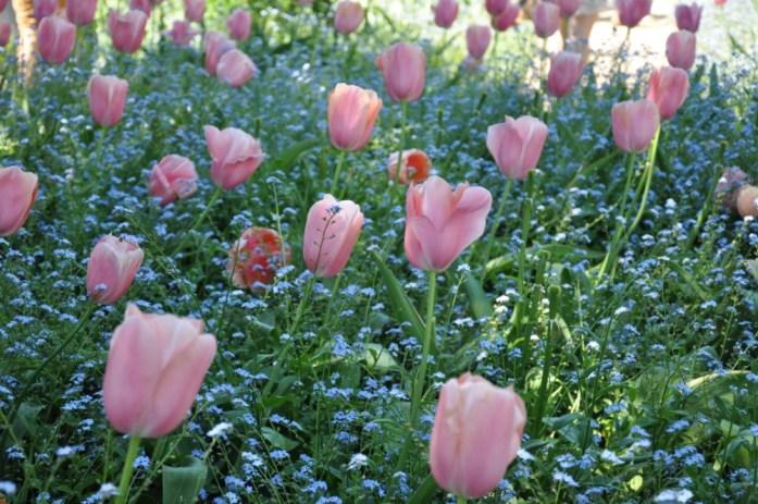 Jardin de Monet à Giverny - parterre de tulipes