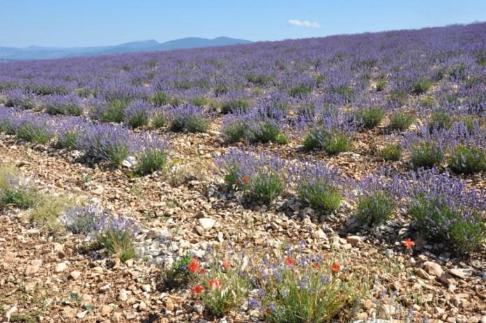 Photographier la lavande en Provence - coquelicots