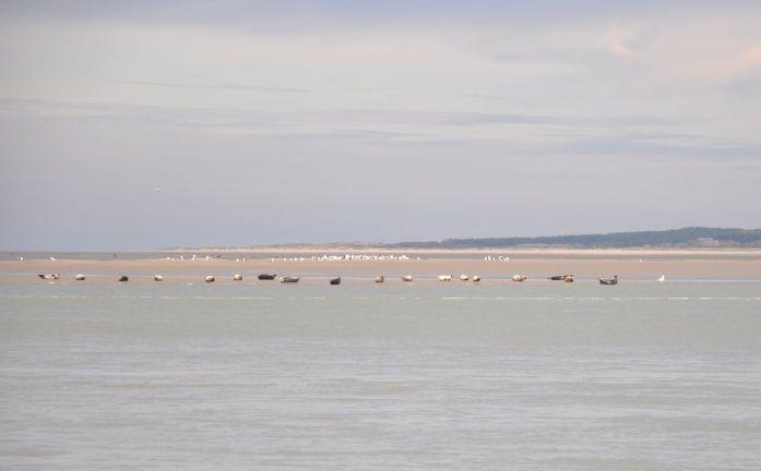 Colonie de phoques dans la Baie de Somme