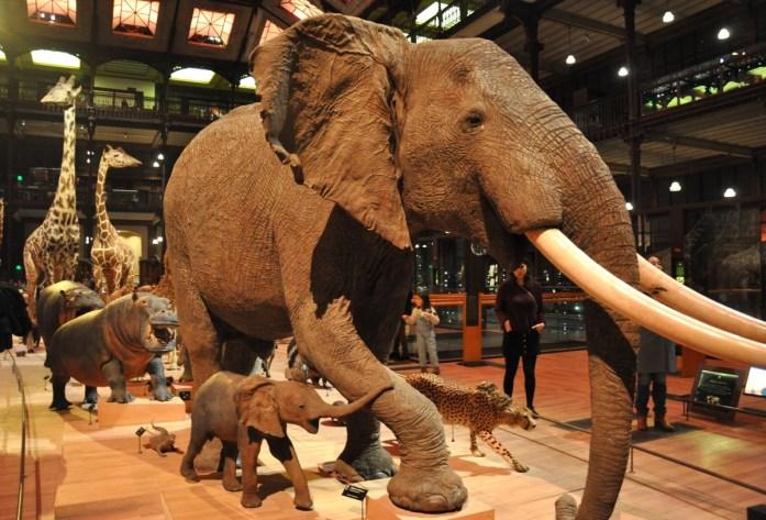 Grande galerie de l'évolution - les éléphants