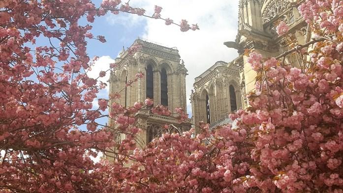 Cerisiers en fleurs autour de Notre Dame de Paris