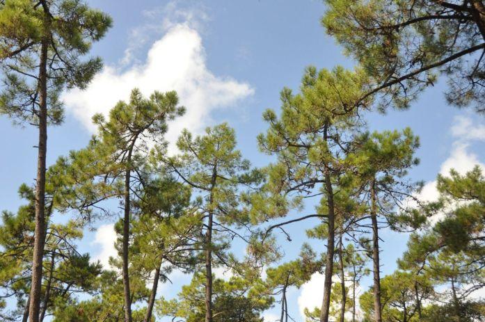 Île d'Oléron : forêt de pins