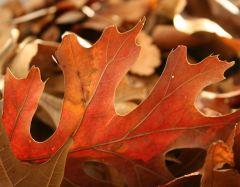 3oak_leaf