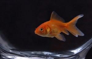 Goldfish 10