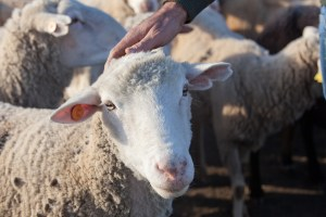 Shepherd Caress