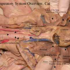 Cat Dissection Muscle Diagram Back Tennis Court With Measurements Biology Respiratory System