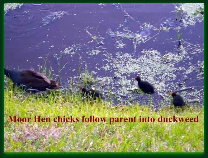 Moor Hen Chicks with Mom