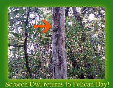 Screech Owl in tree off boardwalk in Pelican Bay