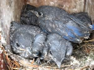 Young Eastern Bluebirds - Sialia sialis