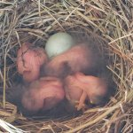 Four newly hatched Eastern Bluebird chicks and one unhatched egg from our nestbox. © A. T. Baron
