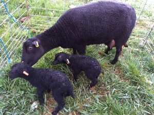 First Lambs of 2014