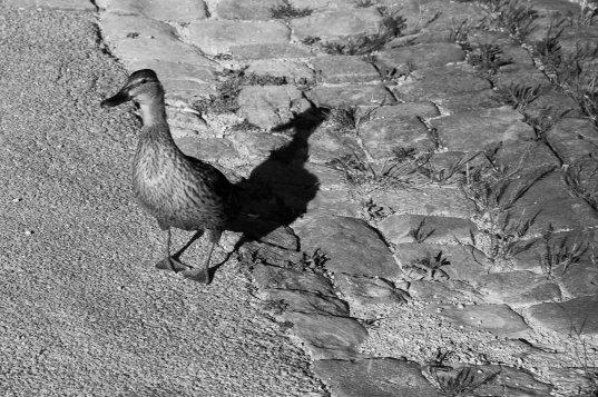 Duck - Avignon