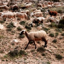 Rebaño ovejas de Manuel