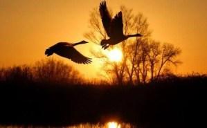 patos volando al amanecer