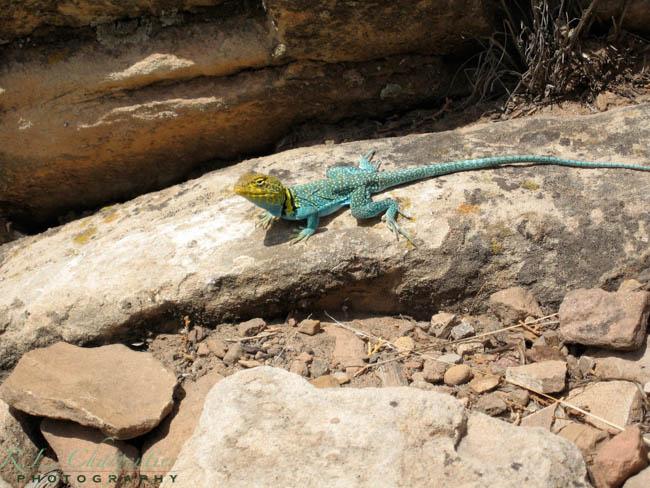 Collared Lizard Cortez Colorado RV Park