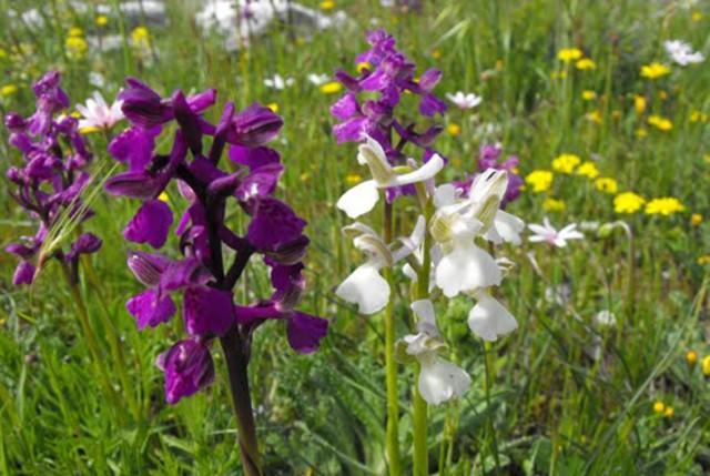 Puglia, Gargano: qui c'è il regno delle orchidee selvatiche più belle del mondo