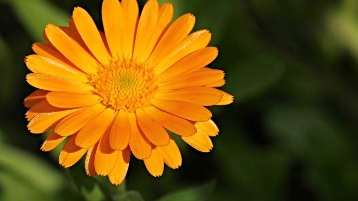 Calendula Officinalis: la campagna pugliese ne è piena, anticipo di primavera