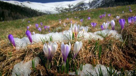 688580676-croco-disgelo-della-neve-fondere-prato-di-fiori