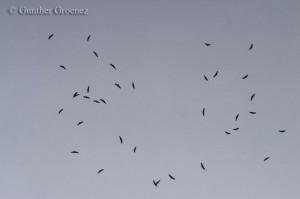 Grey vultures in Belgium | photo: Gunther Groenez