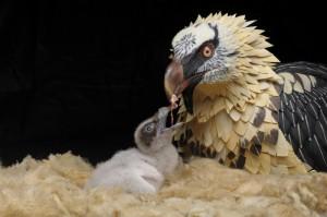 Lammergier pop en jong op natuurgetrouw nest | F. Marquez