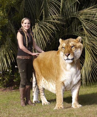 Kucing Terbesar Di Dunia : kucing, terbesar, dunia, Liger, Lampu, Kecil