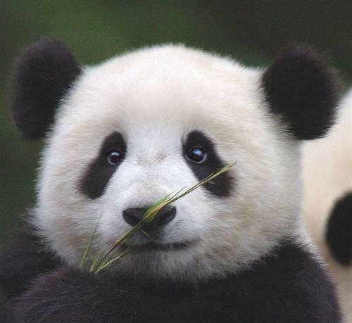 Foto Gambar Panda lucu 13  Lampu Kecil