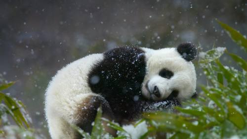 Foto Gambar Panda lucu 15  Lampu Kecil