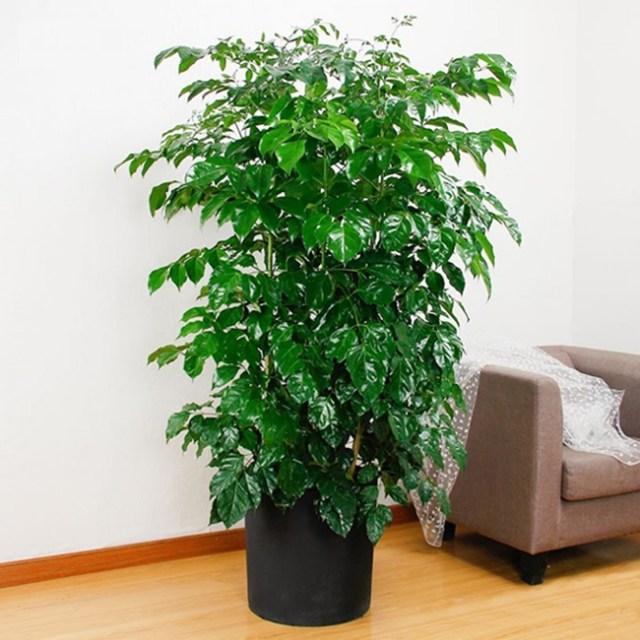 Cây Hạnh phúc thường được trồng cảnh trong nhà