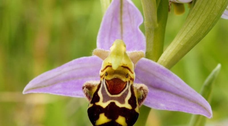 Orquídeas Ophrys apifera