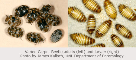 Varied Carpet Beetle S And Larvae Photo By James Kalisch Unl Department Of Entomology