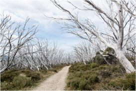 These trees have all died because of a recent bushfire through the area
