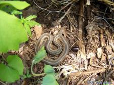 Garter snake at Rivercliffs State Nature Preserve in Franklin County http://naturepreserves.ky.gov/.