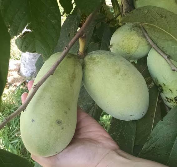 The pawpaw – North America's only native tropical fruit