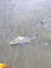 Grunter Bream are a common catch in these creeks