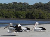 Chilled pelicans