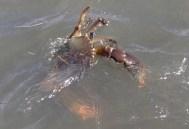 Bribie mud crab