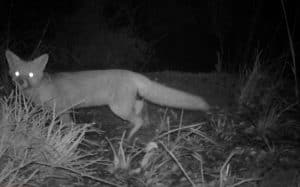 camera captures picture of fox at night