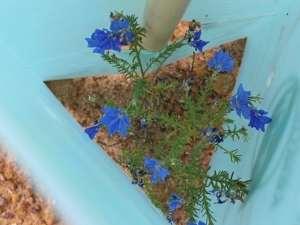 blue leschaneultia flower inside a tree guard