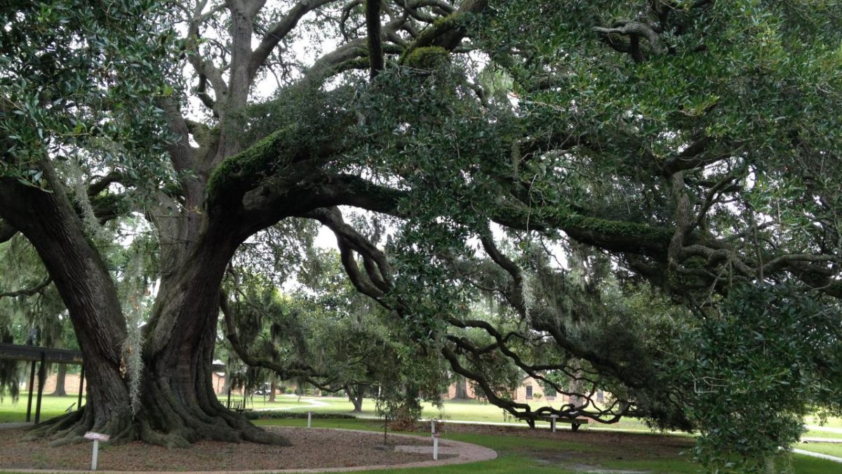 Best Shade Tree Florida
